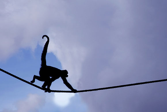 Columbian Black Spider Monkey Silhouette