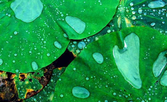 Leaves with rain drops