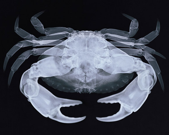 X-ray of a Crab