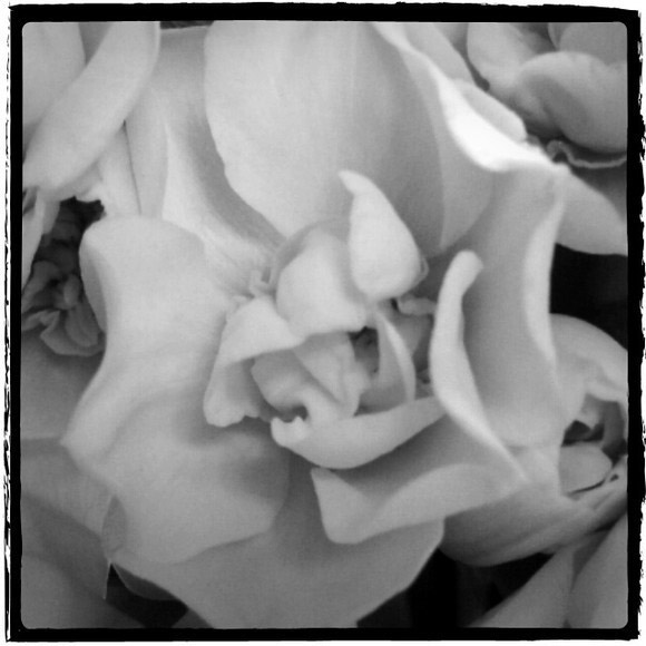 Daffodil - Black & White