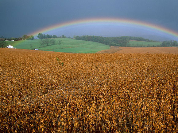 Rainbow Over Soybean Field