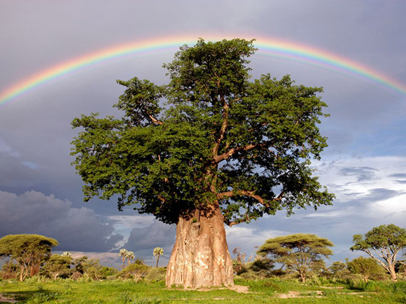 Rainbow Over Baobab Tree