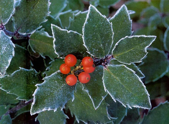 Christmas Colors, Holly