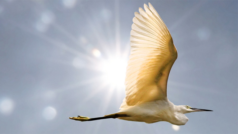 The Egret and the Sun