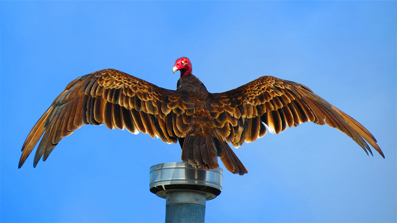 Spread-Winged Turkey Vulture