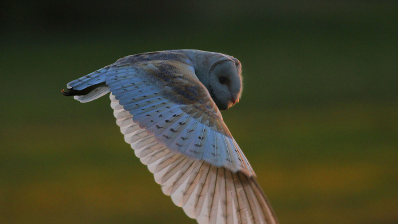 Twilight Barn Owl