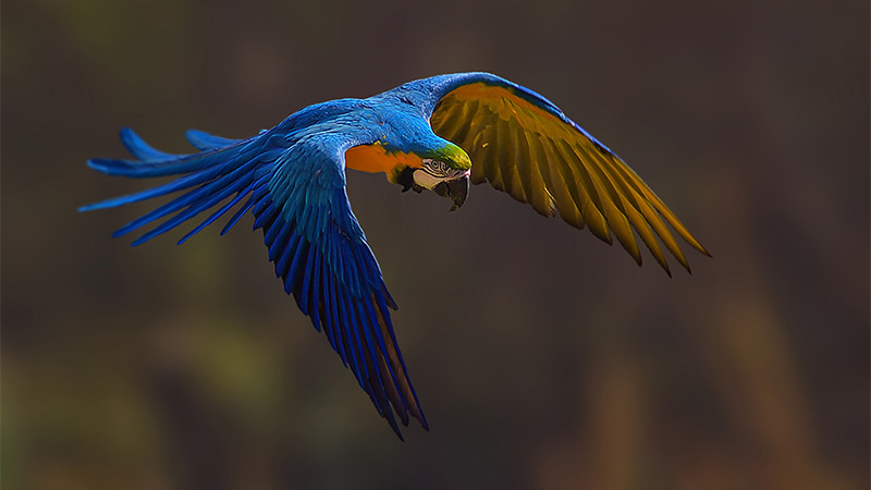 Flight. Blue & Yellow Macaw
