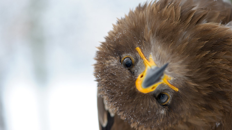 Twisted - Juvenile Steppe Eagle