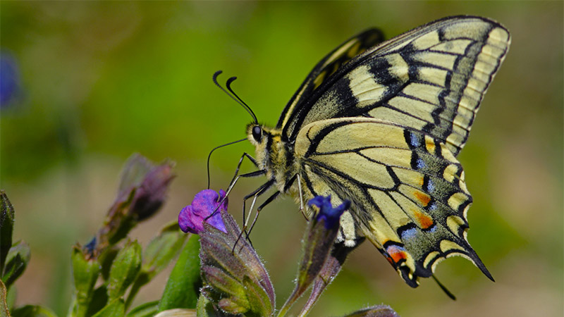 Swallowtail and Lungwort